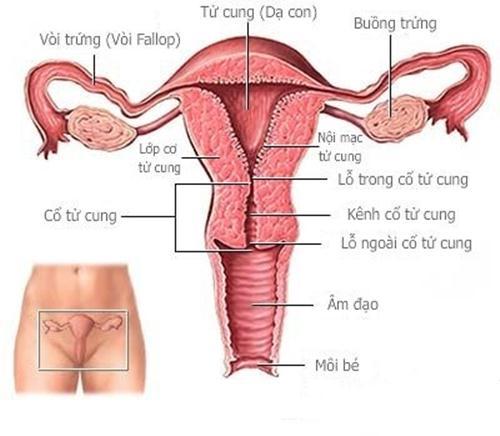 Cấu tạo âm đạo của phụ nữ rất dễ bị viêm nhiễm
