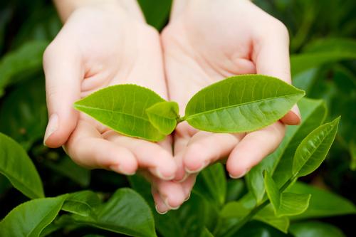 Trà xanh có công dụng chữa viêm âm đạo
